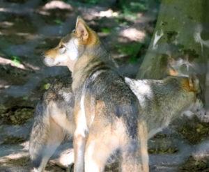 Beobachtung von einem Wolfsrudel