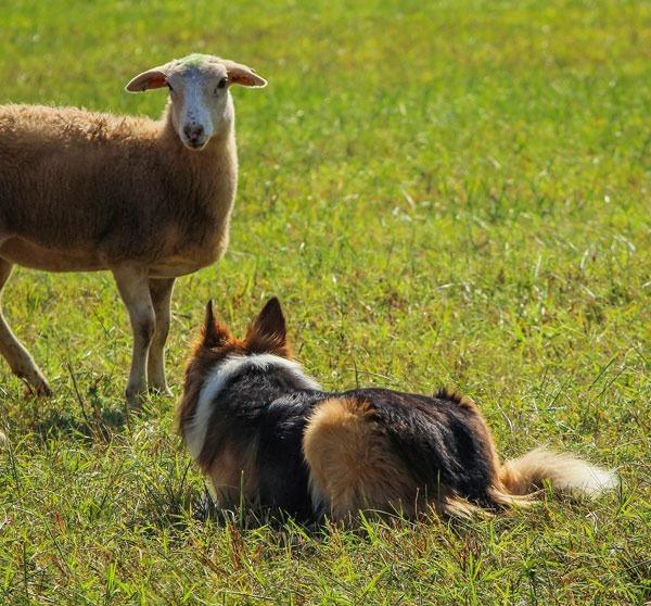 Domestikation & Spezialisierung unterschiedlicher Hunderassen