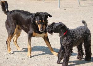 Interspezifische & intraspezifische Kommunikation des Hundes